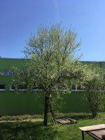 Zwetschgenbaum in Blüte