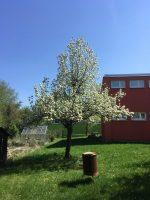 Birnbaum in Blüte